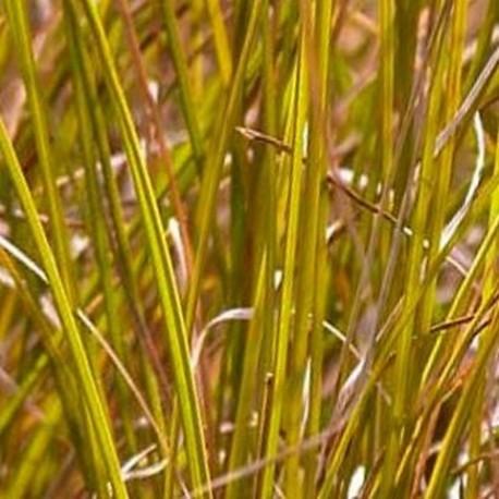 Carex dipsacea