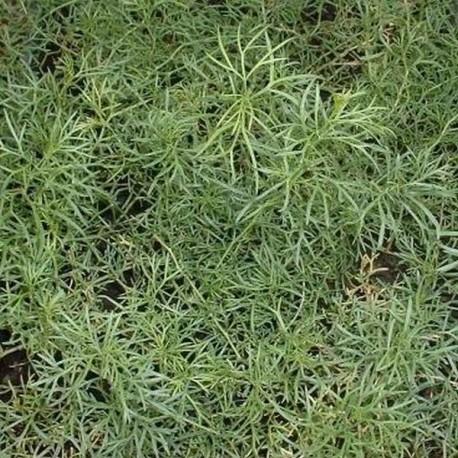 Artemisia camphorata