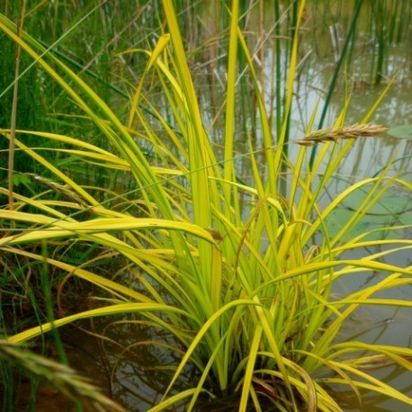 Carex elata 'Bowles Golden'