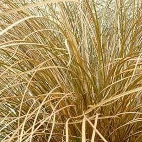 Carex flagellifera 'Toffee Twist'