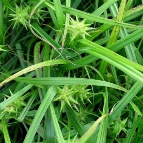 Carex grayii