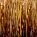 Carex kaloïdes