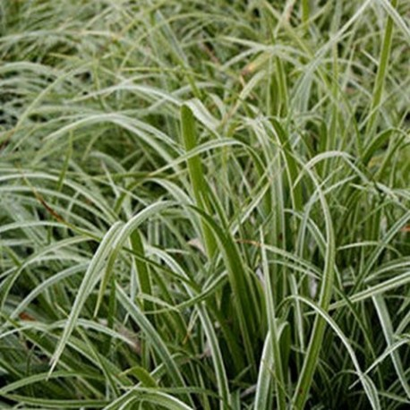 Carex morrowii 'Fisher Form'