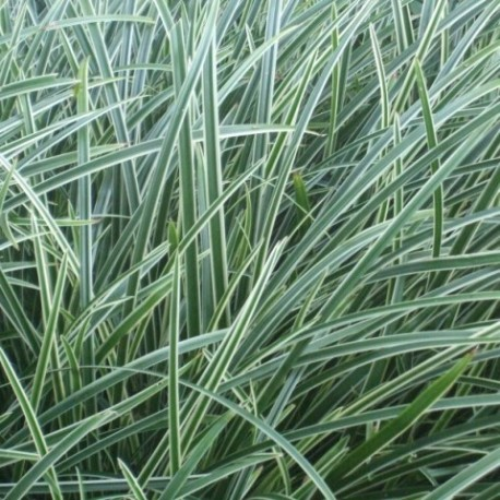 Carex morrowii 'Silver Scepter'