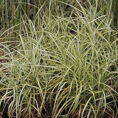 Carex muskingumensis 'SilberStreif'