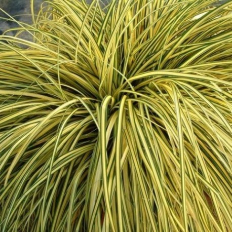 Carex oshimensis 'Ever Gold'