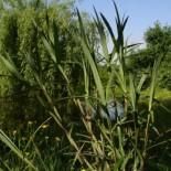 Carex phyllocephala