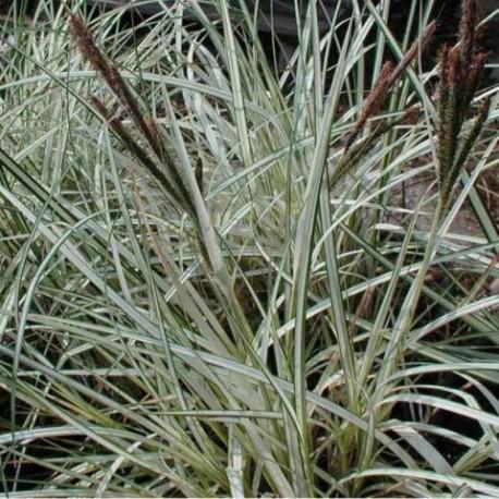 Carex riparia 'Variegata'
