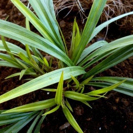 Carex ssp. Nanking