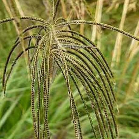 Chloris distichophylla