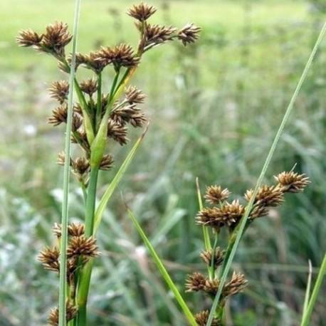 Cladium mariscus - (Cypéracées)