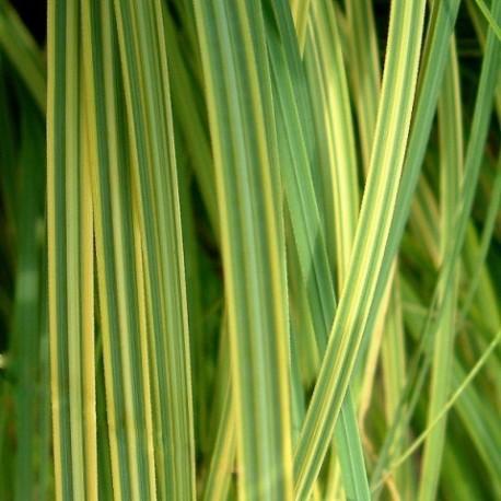 Cordateria selloana 'Goldband'