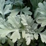 Artemisia stellerian 'Boughton Silver'