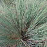 Corynephorus canescens :