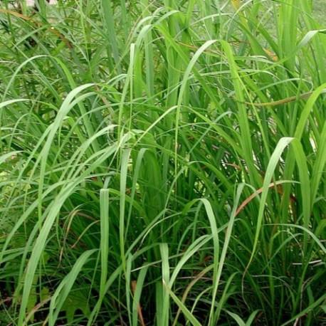 Cymbopogon citratus  - (Poacées)