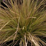 Deschampsia cespitosa 'Northernlight'