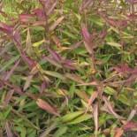 Dichanthelium clandestinum - (Poacées)