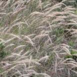 Dichelachne crinata - (Poacées)