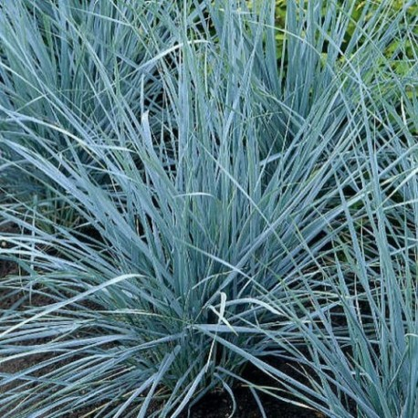 Elymus magellanicus - (Poacées)