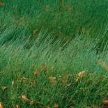 Ephedra gerardiana - (Ephédracées)