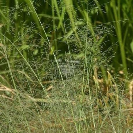 Eragrostis chloromelas