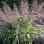 Eragrostis trichodes 'Sumerstrain'