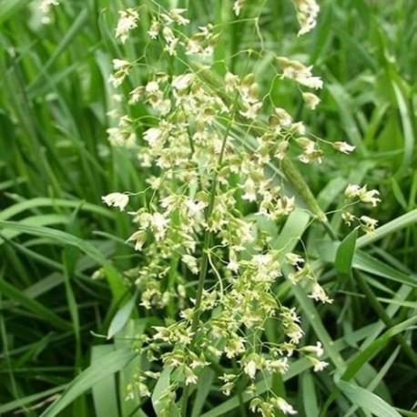 Hierochloe odorata