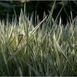 Holcus mollis 'Variegatus'