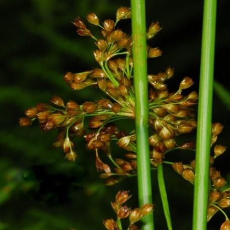 Juncus effusus - (Joncacées)