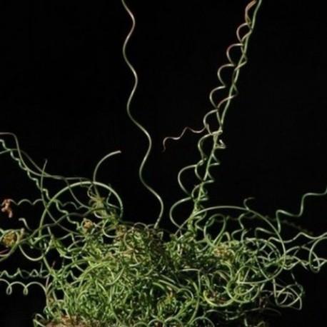 Juncus filiformis 'Spiralis'