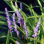 Liriope muscari - (Asparagacées)