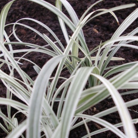 Liriope muscari 'Silverribbons'