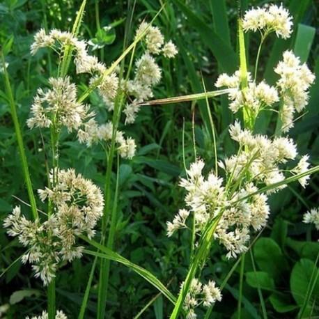 Luzula nivea - (Joncacées)