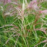 Miscanthus sinensis 'Kaskade'