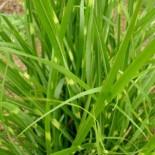 Miscanthus sinensis 'Kirk Alexander'