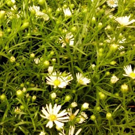 Aster ericoides 'Schneetanne'