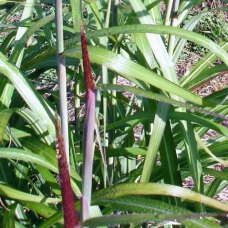 Miscanthus sinensis 'Largo'