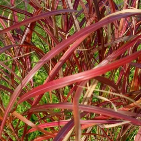 Miscanthus sinensis 'Purple Rain'