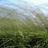 Molinia caerulea ssp arundinacea 'Windspiel'