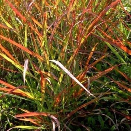 Panicum virgatum 'Kupfer Hirse'