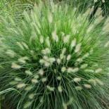 Pennisetum alopecuroïdes 'Hameln'
