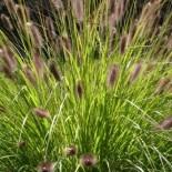 Pennisetum alopecuroïdes 'Japonicum'