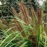 Pennisetum alopecuroïdes 'Moudry'