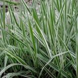 Phalaris arundinacea 'Picta'