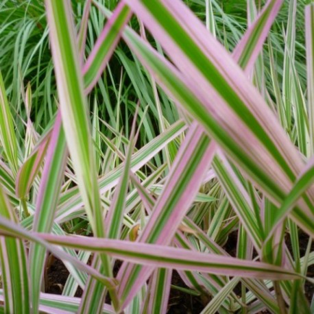 Phalaris arundinacea 'Tricolor'