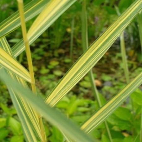 Phragmites australis 'Albovariegata'