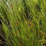 Rhodocoma capensis - (Restionacées)