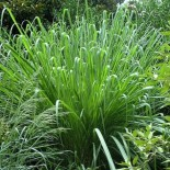 Saccharum arundinaceum