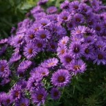 Aster novae angliae 'Purple Dome'