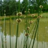 Scirpoides  romanus - (Cypéracées)